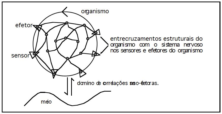 Figura 2: O sistema nervoso é uma rede neuronal fechada que opera como uma rede fechada de relações cambiantes de atividades. O sistema nervoso, portanto, não tem sensores nem efetores: os sensores e efetores pertencem ao organismo. Nessa Figura, os sensores são triângulos com a base voltada para fora enquanto que os efetores são triângulos com um vértice voltado para fora.