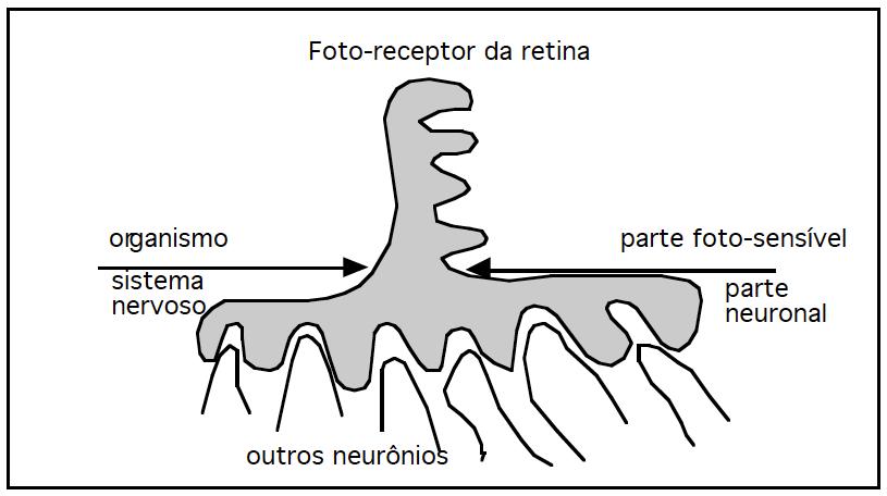 Figura 3: Um foto-receptor da retina pode ser conceitualmente dividido em duas partes; uma parte foto-sensível, na qual moléculas de retinenos da membrana são modificadas por fótons; outra, se parece a um neurônio. A parte foto-sensível pertence ao organismo; a parte neuronal, ao sistema nervoso.