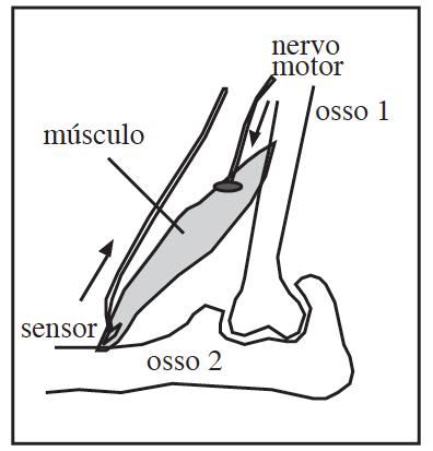 Figura 4: Na transmissão neuromuscular impulsos aferentes pelo nervo motor desencadeiam a contração muscular que, por sua vez, ativa sensores inseridos nos tendões que ativam neurônios e fecham a rede neuronal.