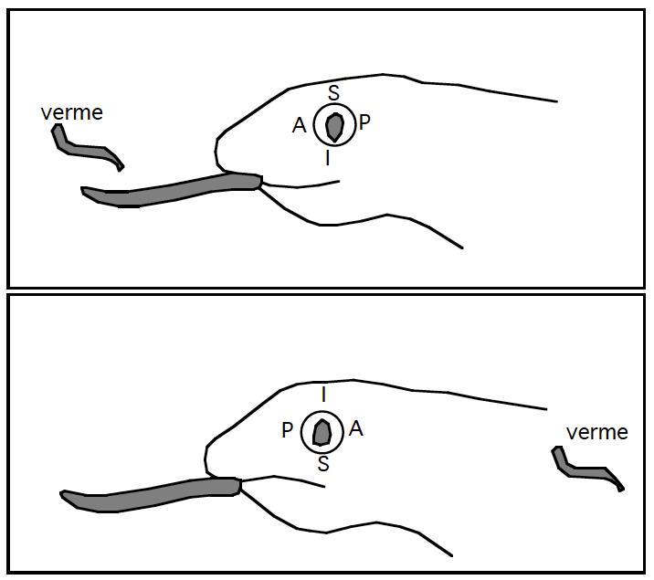 Figura 5: A salamandra que teve seu olho girado em 180 graus não atinge mais seus alvos; exposta a um verme colocado atrás de si, atira a língua para a frente.